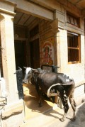 Jjaisalmer visite vache